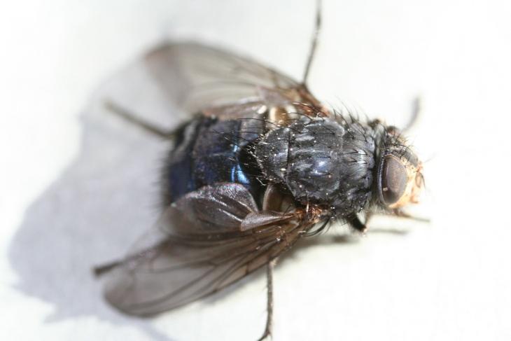 mosca bis